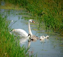 MUTE SWAN  AND CYGNETS by Johan  Nijenhuis