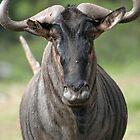 Wildebeest stare by Rebecca Conroy