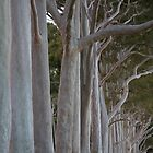 Kings Park Trees by KBloodGallery