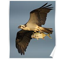 Osprey Fishing Poster