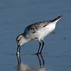 Sanderling with Sand Crab by Michael Mill