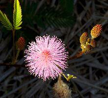 Sensitive Weed in flower by Paul Gilbert