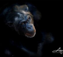 Chimpanzee by Andreas Stridsberg