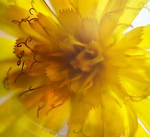 Sunflower (from wild flowers collection) by Antanas