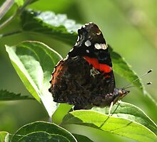 Red Admiral  by Neil Ludford