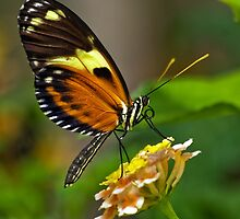 Butterfly by Steve  Liptrot