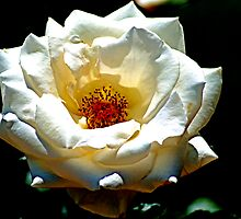 White Rose by Bob Wall