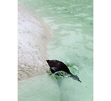 penguin diving Photographic Print