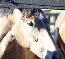 Yearling Thoroughbred Fillies  by chelka09