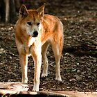Australian Dingo by DavidsArt