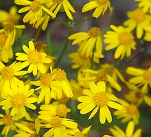 Golden Ragwort- Senecio aureus by Tracy Faught