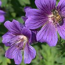 bumble bee on the hardy geranium flower by memaggie