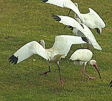 Flock of Ibis by Larry  Grayam