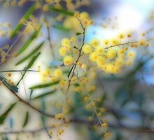 STANTHORPE WATTLE © by Vicki Ferrari