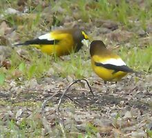 I Found A Worm..Did You?  Yellow Grosbeaks by MaeBelle
