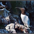 Guillemot at Fowlsheugh by Shaun Whiteman