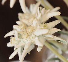 Edelweiss by Rosy Kueng