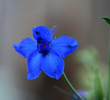 Delphinium by Kelly Cavanaugh