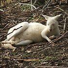 Albino Kangaroo by ScenerybyDesign