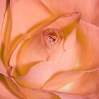 Hues of a Rose #8 by Deborah McGrath