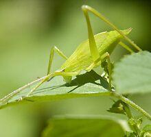 Green Hopper by Lawrence Crisostomo