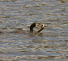 Cormorant catching an eel by Jon Lees