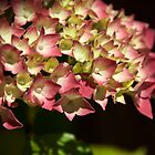 Hydrangea in the shadows by janrique
