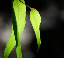 Gum leaves by Elise Lidgett