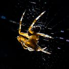 Brown spider close-up 2 by David Clarke