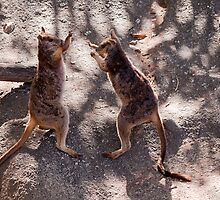 Boxing Wallabies... by Janine  Hewlett