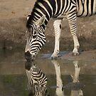Zebra reflection by Erik Schlogl