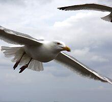 Evil Eyed Gulls by yorksinchina
