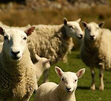 Scottish Sheep by Sturmlechner