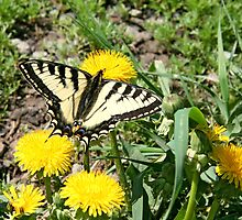 Tiger Swallowtail on Dandelion Flowers by Vickie Emms