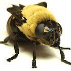 Botfly (Oestridae)  by main1