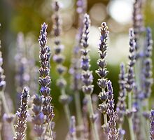Backlit Lavender by Cory Mathews