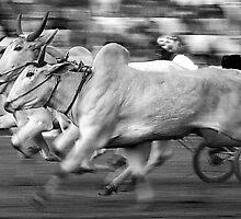 The Bullock Race by RajeevKashyap