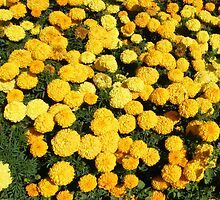 """""""Marigolds have beneficial factors"""" by DonnaMoore"""
