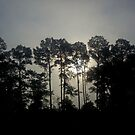 Florida Hwy 129 Foggy Sunrise Through Pine Trees by Daneann