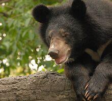 Asian Black Bear by Peter Ellen