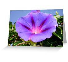 Purple Colored Morning Glory Flower Garden Background  Greeting Card