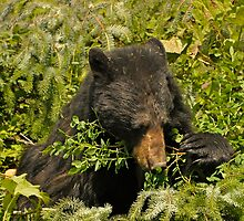 Meal Time - Black Bear by Barbara Burkhardt
