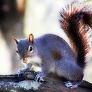 """""""Eastern Gray Squirrel, with Sun At His Back"""" by Melinda Stewart Page"""