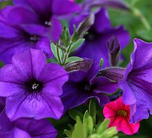 Potted Petunias by Kelly Cavanaugh