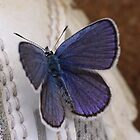 Karner Blue Butterfly by jenndes