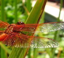 Flame Skimmer wings, Getty Villa by Sherry Lynn Crawford