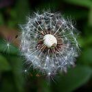 Dandelion and Spider in hiding, by AnnDixon