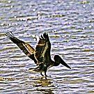 Pelican Landing by Daneann