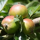Allotment Apples by stellelove