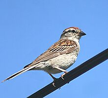 Chipping Sparrow by Stephen Thomas